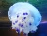 jellyfish1.jpg