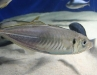 sagamibayfishes.jpg