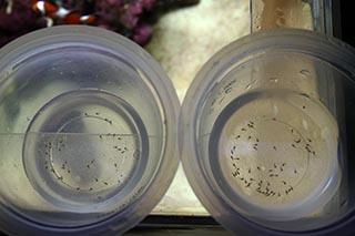死んだ仔魚の数(左:生き餌 右:冷凍餌)