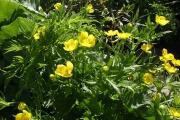 御浜小屋近辺の黄色い花