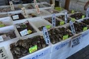 小砂川漁協の天然岩ガキ