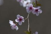 ちょっと控えめな桜