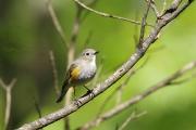 ルリビタキの幼鳥