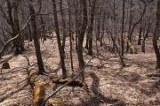 臼ヶ岳南陵のブナ林