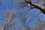 冬枯れのブナ林
