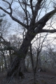 風雪に耐えてきた老木