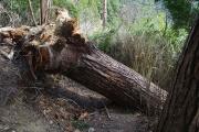 巨木が道を塞いでいる