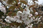 蝦夷山桜かな