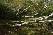 樹木は横に延びる