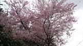 久延寺の前には桜が咲いていた
