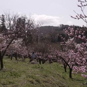 桃畑では人工受粉作業