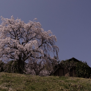 立派な枝垂れ桜